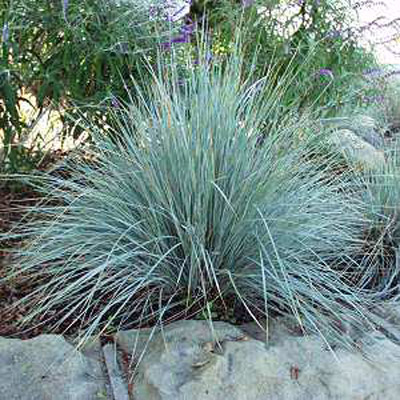 The hilltop landscape architects and contractors plants for Blue fountain grass