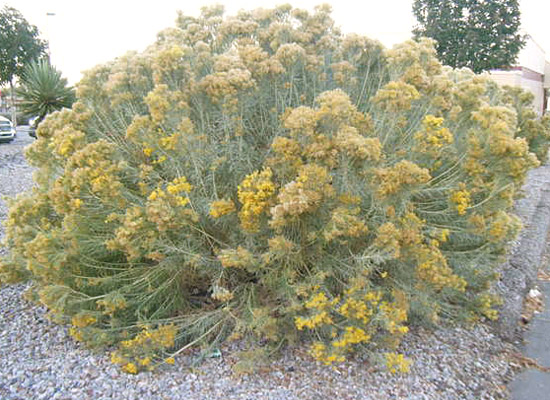 The hilltop landscape architects and contractors plants and trees xeric plant native to high desert mightylinksfo