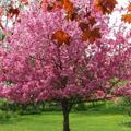 Crabapple (Flowering)