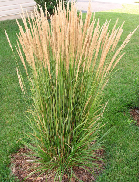 The hilltop landscape architects and contractors plants for Fast growing ornamental grass