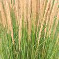 Karl Foerster Reed Grass