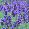 Lavender (English)