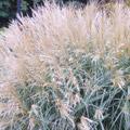Maidengrass