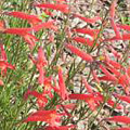 Pineleaf Penstemon