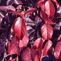 Purple-leaf Wintercreeper