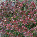 Red Pygmy Barberry