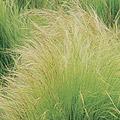 Threadgrass